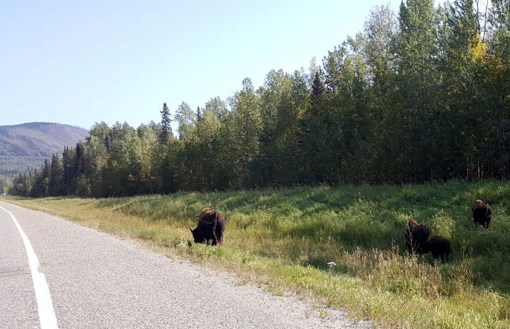 Bison near the road on the Alaska Highway